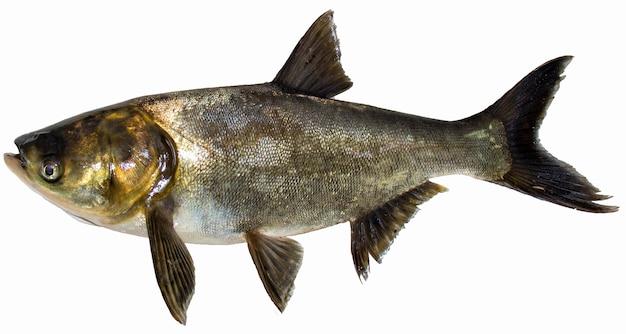 Большая рыба, изолированные на белом. толстолобик