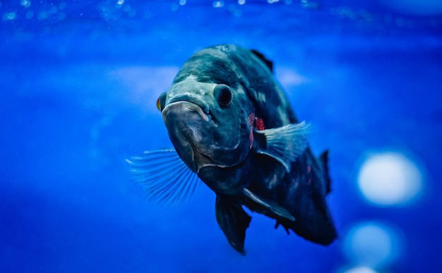 Большая рыба плавает в аквариуме