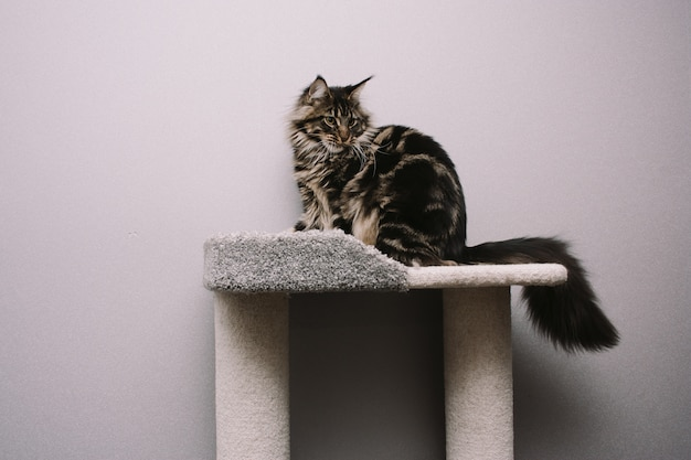 Big fluffy maine coon sitting on cat tree
