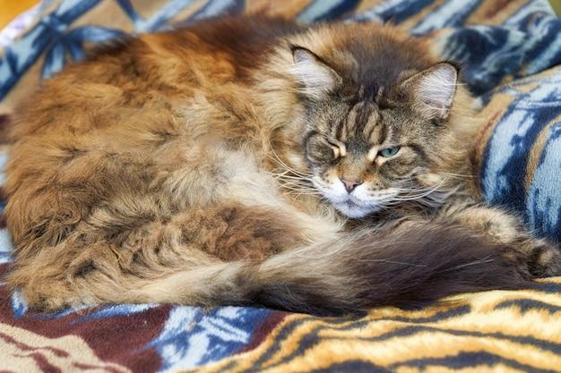 ふわふわの大きな猫のメイクーンが柔らかい毛布で寝ています。閉じる