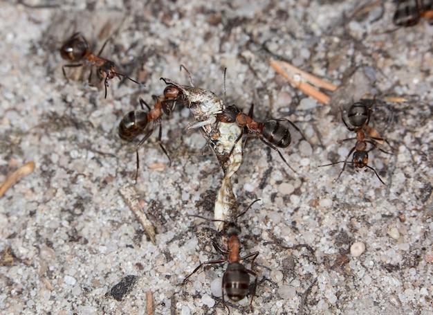Большие лесные муравьи в естественной среде обитания