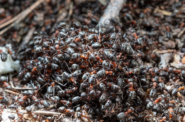 Big forest ants in a native habitat