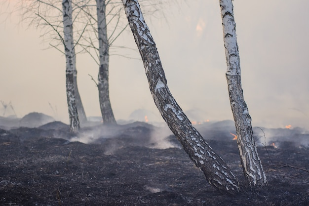 Big forest of birch trees full of smoke and charred and blackened trees after wild fire