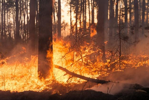 Большой лесной пожар в сосновой роще
