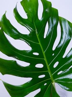 큰 신선한 monstera 잎, 밝은 회색 색상 배경에 열대 스위스 치즈 공장. 여름 계절 배경