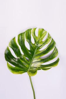 큰 신선한 monstera 잎, 밝은 회색 색상 배경에 열대 스위스 치즈 공장.