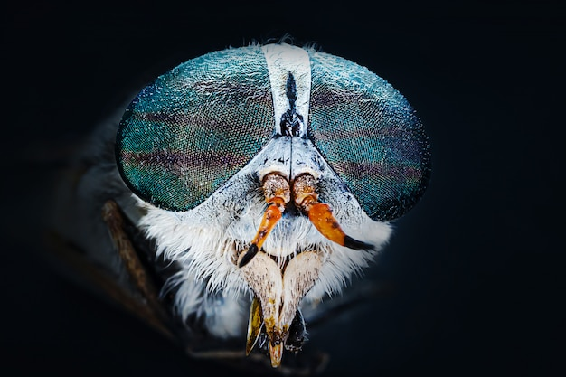 Big gadfly close-up, macro photo. the concept of parasitic biting insects. horsefly.