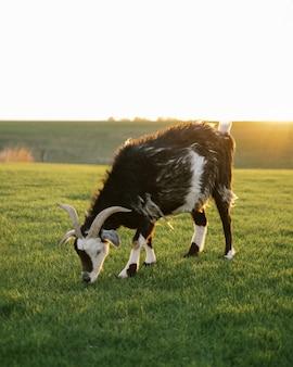 Большой козел пасется в поле и яркое солнце