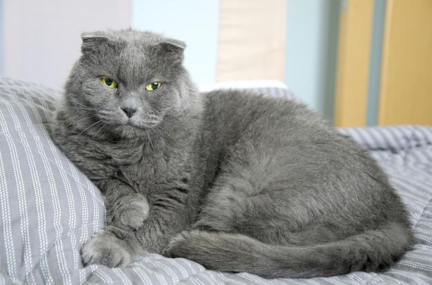 Большой серый кот британской породы лежит и отдыхает на кровати.