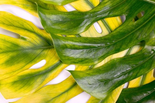 큰 녹색과 노란색 monstera 잎, 열대 스위스 치즈 공장을 닫습니다.