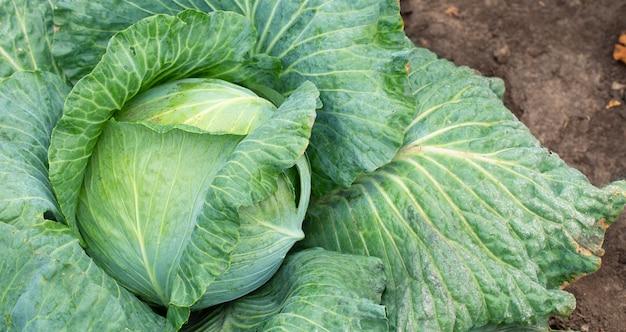 Большая зеленая капуста на ферме. вегетарианская еда фон.