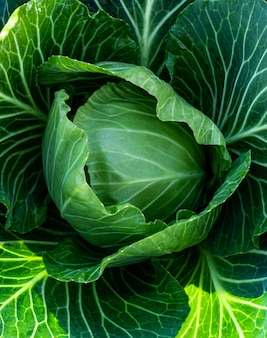 Большая зеленая капуста со свежими листьями. созревший урожай на ферме или в теплице.