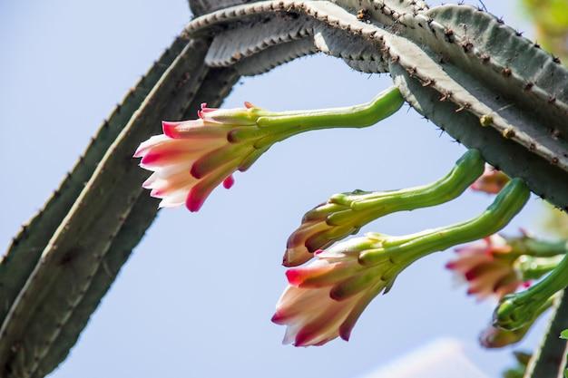 Большой зеленый кактус на голубом небе