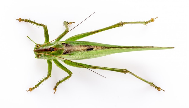 Big green grasshopper on white