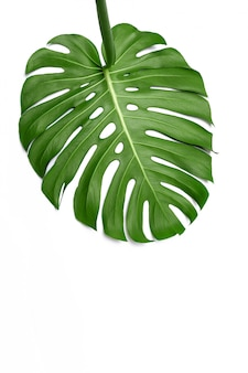 Big green leaf of monstera plant on white surface