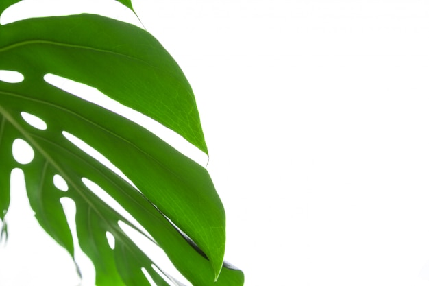Big green leaf of monstera plant on white
