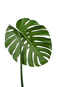 白い背景のモンステラ植物の大きな緑の葉