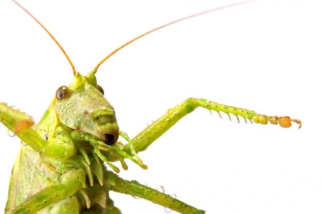 Big green locust