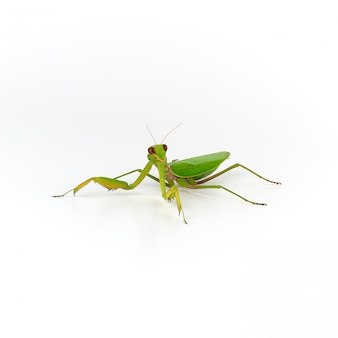 Big green mantis on white