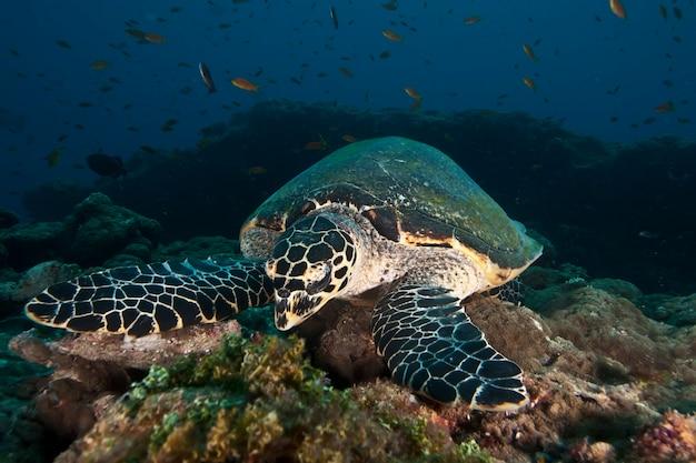어두운 맑은 물에서 화려한 산호초 사이에서 수영하는 큰 녹색 바다 거북