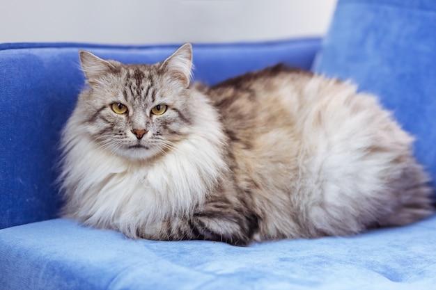 青いソファの上の大きな灰色のふわふわ猫