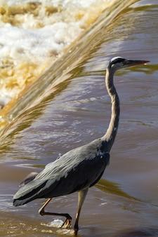 Большая серая цапля на берегу реки грумети. серенгети, африка