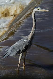 Большая серая цапля на берегу реки. река грумети, серенгети, африка