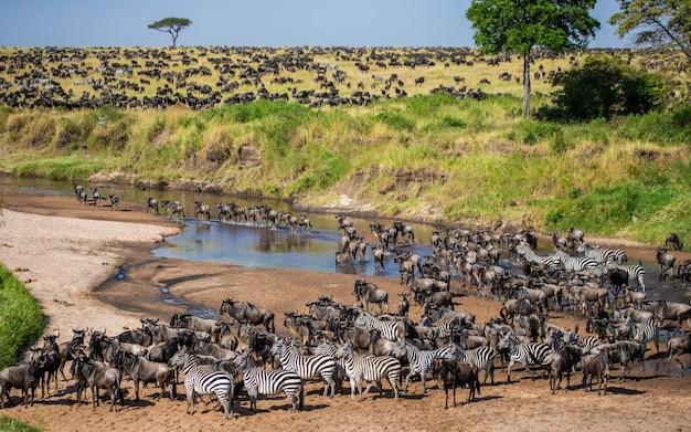 Большая группа антилоп гну в саванне пересекает небольшую реку. великая миграция.