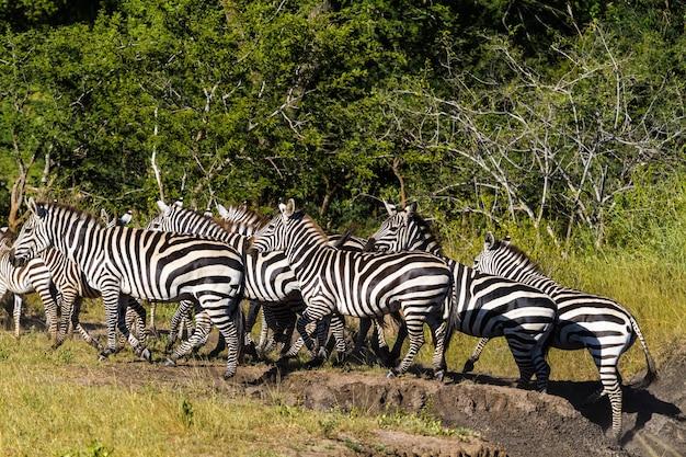 Большая группа зебр в африканской саванне. танзания