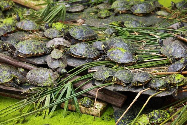 A big group of turtles over duckweed