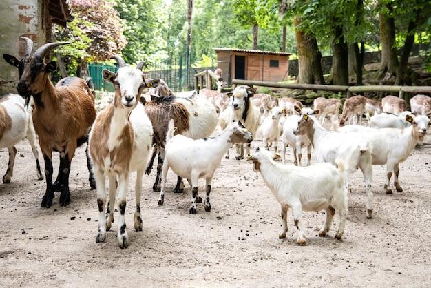 村の道路上の山羊の大きな群れ