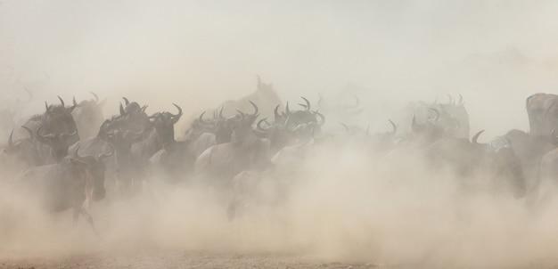 Большое стадо антилоп гну в саванне. великая миграция. кения. танзания. национальный парк масаи мара.