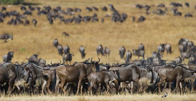 Большое стадо антилоп гну в саванне