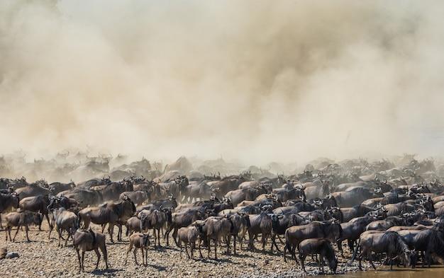 Большое стадо антилоп гну у реки мара. великая миграция. кения. танзания. национальный парк масаи мара.