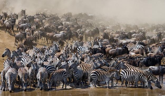 ヌーの大きな群れはマラ川についてです。大移動。ケニア。タンザニア。マサイマラ国立公園。