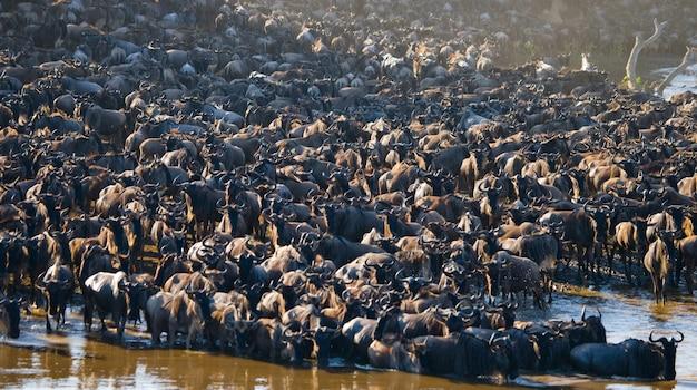 Большое стадо антилоп гну у реки мара