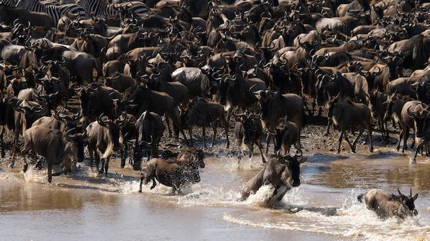 Big herd of wildebeest is about mara river. great migration. kenya. tanzania. masai mara national park.