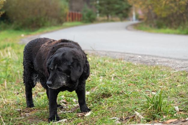 悲しい目を持つ大きなホームレスの空腹の犬は食べ物を懇願します