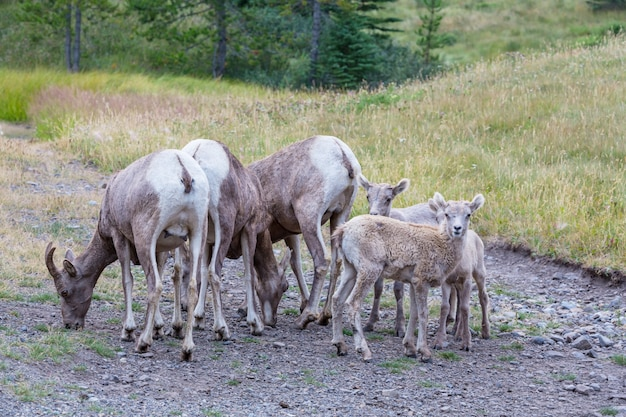 カナダ、ロッキー山脈、秋のバンフ国立公園のオオツノヒツジ