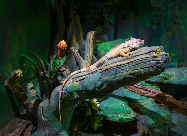 Big iguana lizard in terrarium - animal.