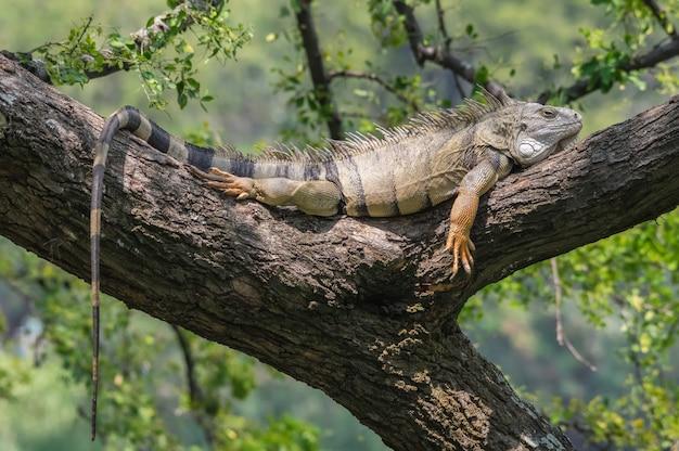 Big iguana resting on a branch tree