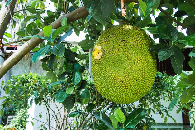 Big jackfruit on the tree was drilled and destroyed are holes from bird and insects inside garden.