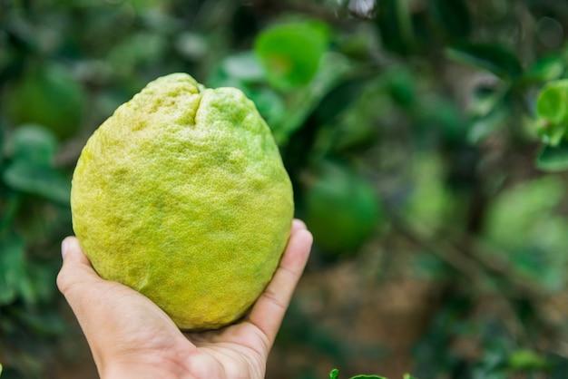 Big lemon in hand nature background.