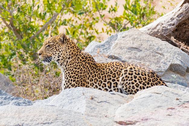 岩と茂みの間の待ち伏せの準備ができている攻撃位置にある大きなヒョウ。クルーガー国立公園、南アフリカ。閉じる。