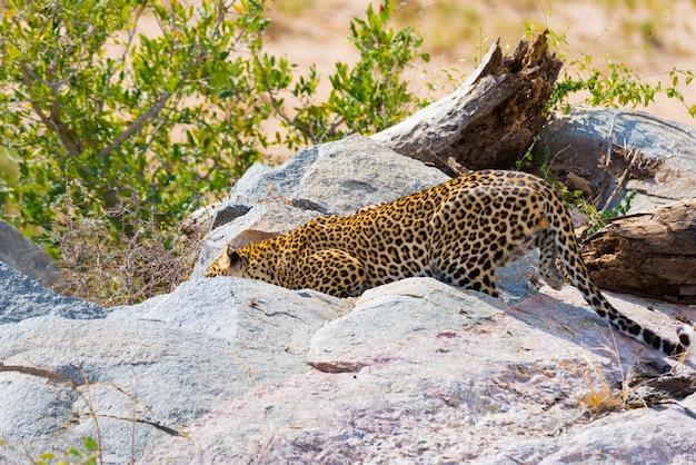 岩と茂みの間の待ち伏せの準備ができている攻撃位置にある大きなヒョウ