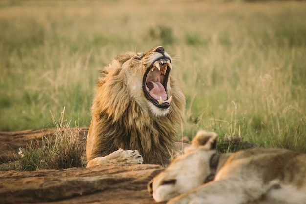 Big lion laying on the ground and yawning
