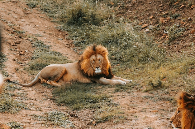 Big lion laying on the ground