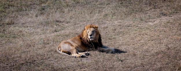 Большой самец льва, лежащий на земле и смотрящий на что-то. парк тайган