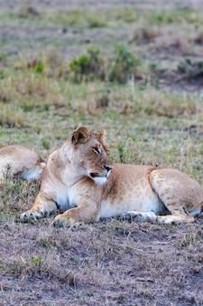 Большая львица спит в саванне масаи мара кения африка