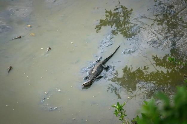 야생 동물의 호수에서 더러운 신에서 큰 도마뱀 사냥